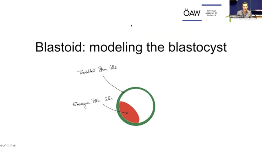 Blastoids: Modeling Early Development and Implantation with Stem Cells.