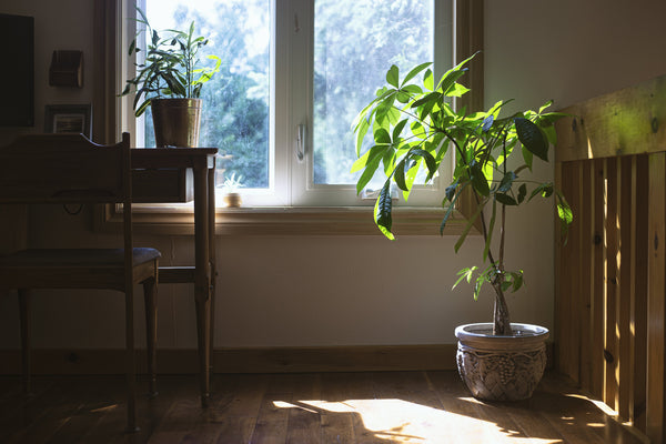 houseplant in window with sunlight