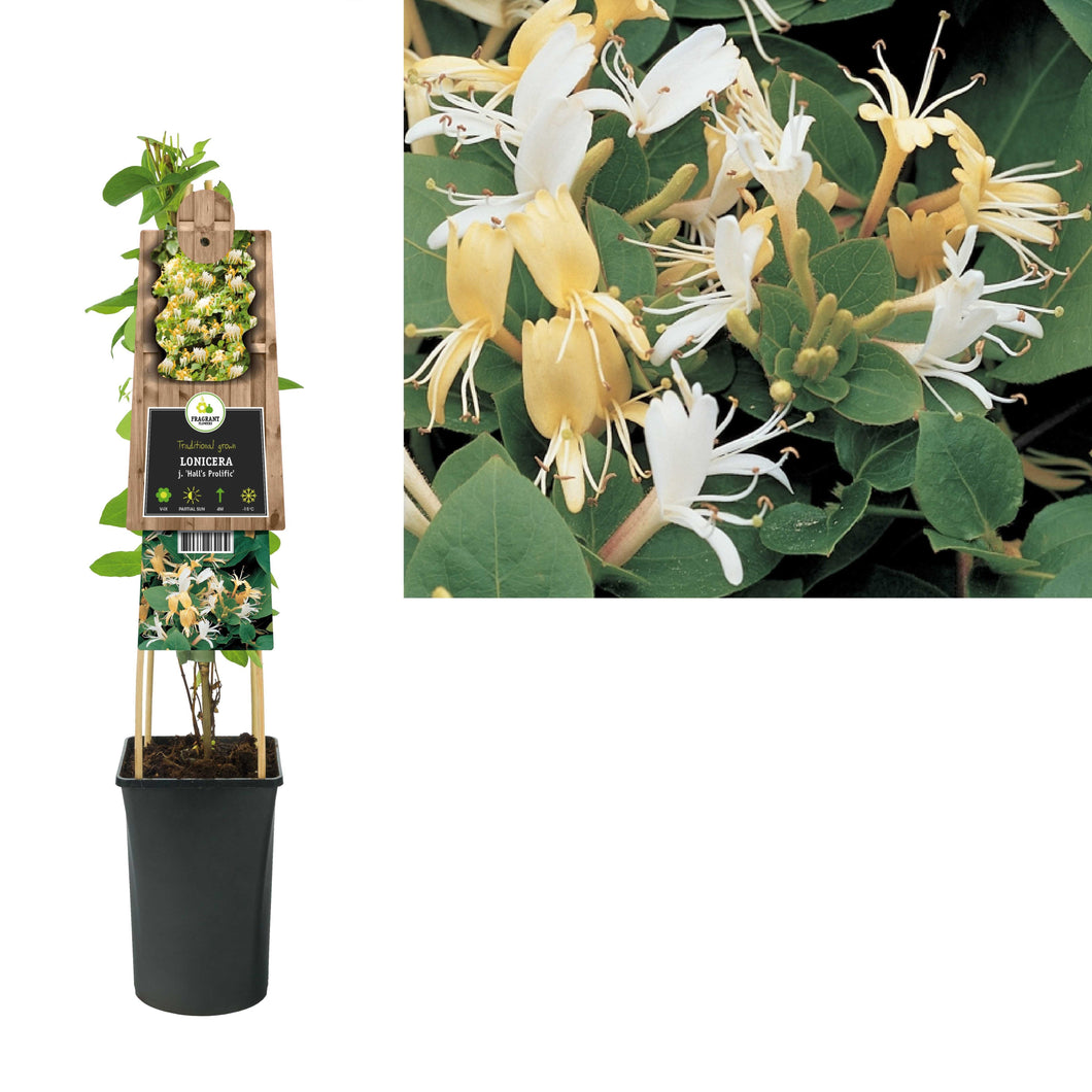Lonicera j. 'Hall's Prolific'