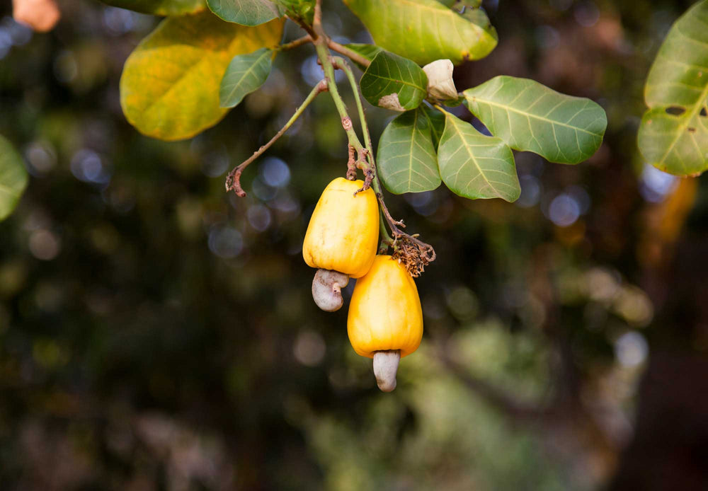 Load image into Gallery viewer, Cashew trees