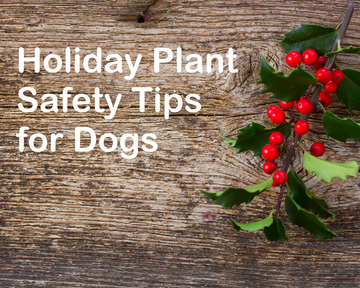 Which Holiday Plants are Toxic for Your Dog