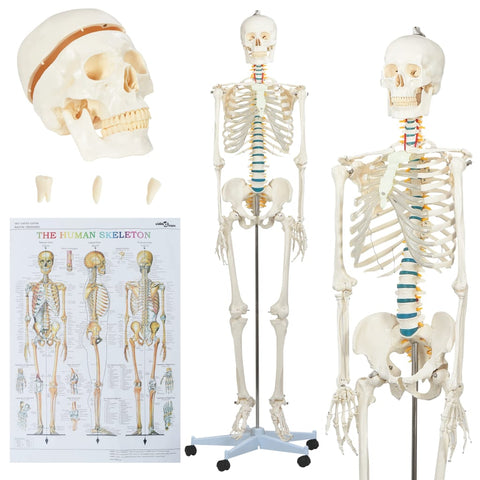 Human Anatomy Skeleton Teaching Model with Poster 181 cm