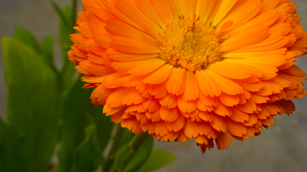 What is Calendula All About Anyway?
