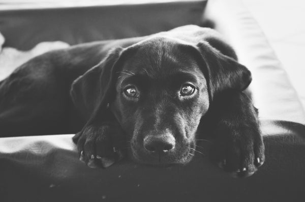Why Exactly is Chocolate Bad for Dogs?