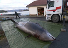 Dead whale in Norway with plastic bags in stomach