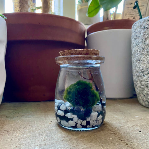 Big Bubs Marimo Ball