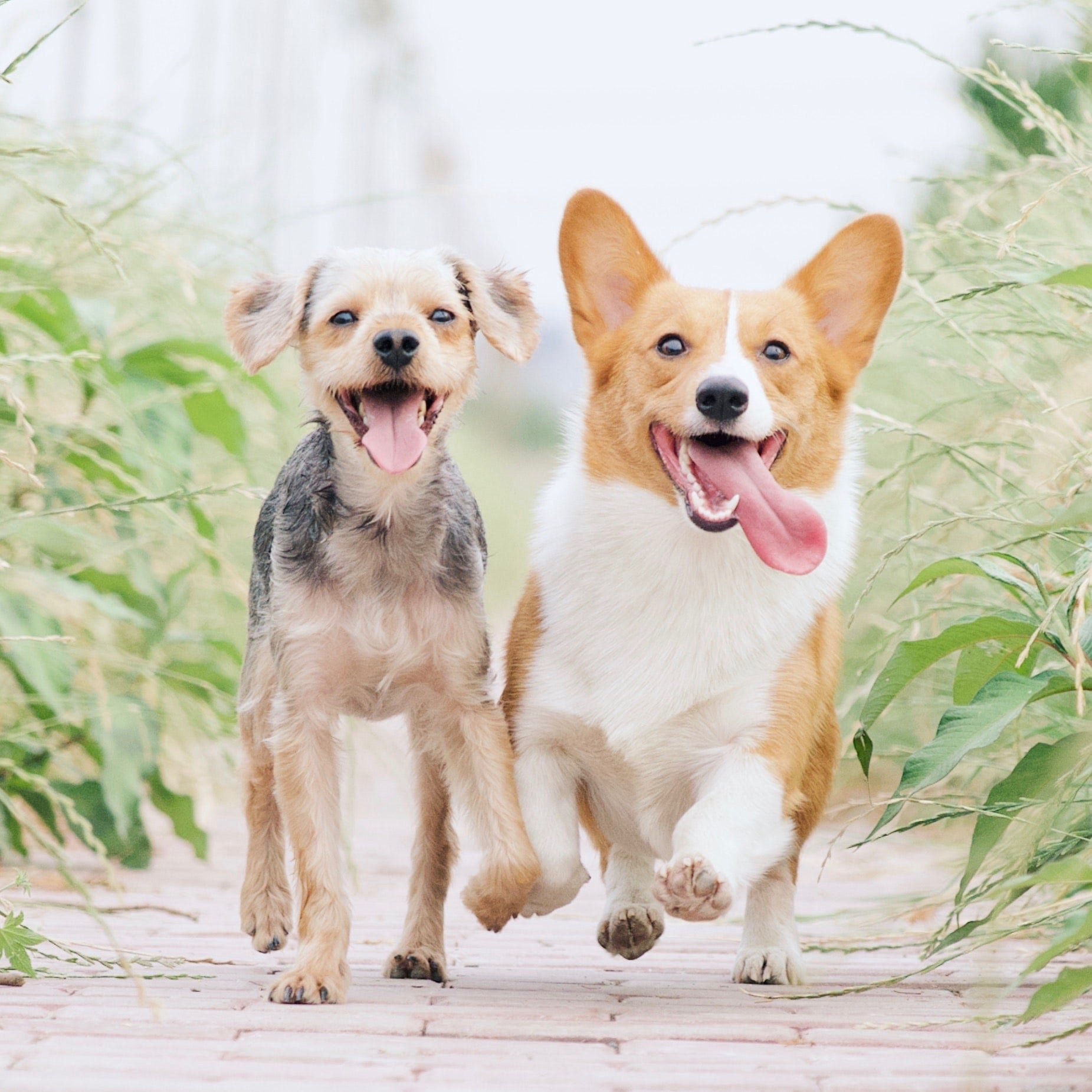 Two happy dogs running with tongues out