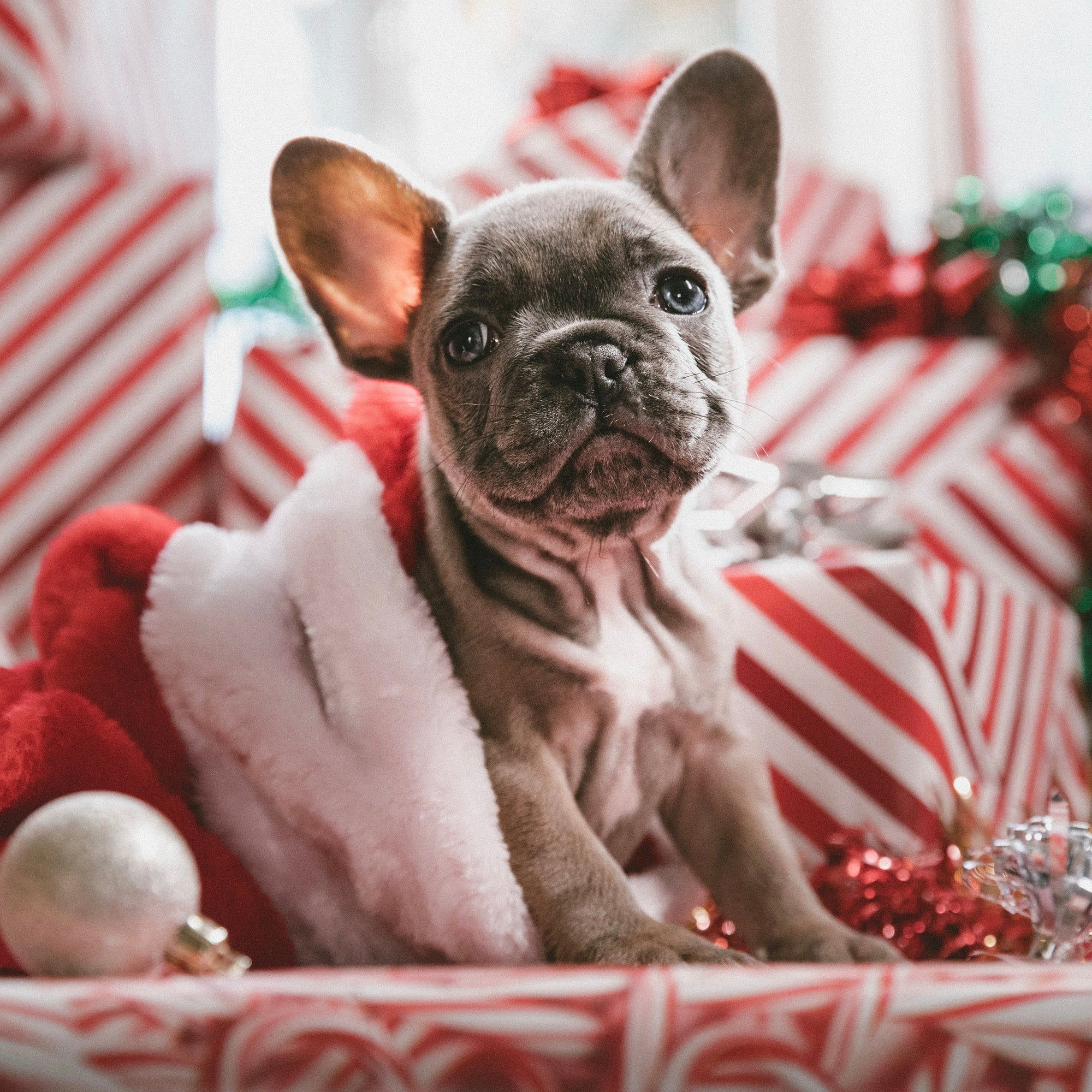 puppy in a stocking in front of presents