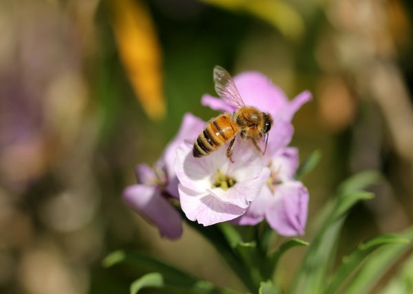 Bee collecting nectar from a purple flower