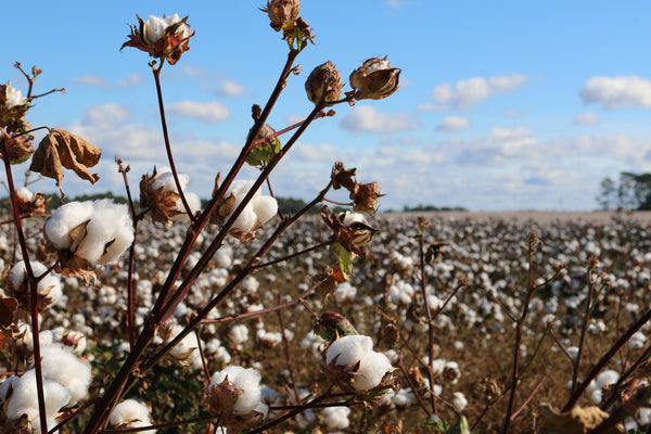 Cottonfield against a blue sky