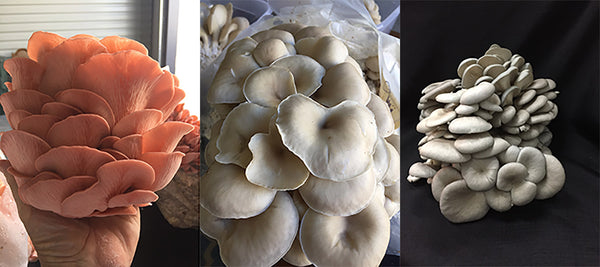 Pink white and Grey Dove Oyster Mushrooms