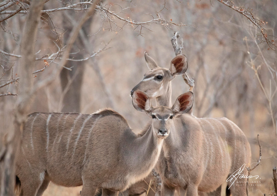 DT015 - Female Kudu