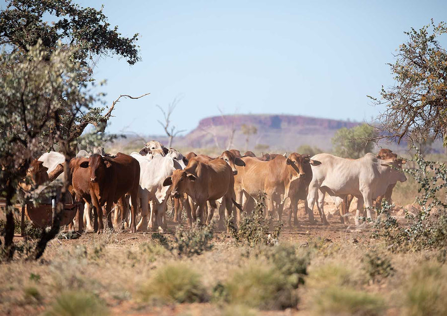 DT021 - Cattle at a water hole