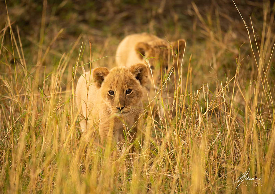 DT041 - Cute Lion Cubs