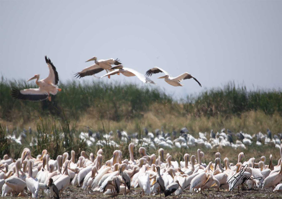 DT050 - Pelicans on the move