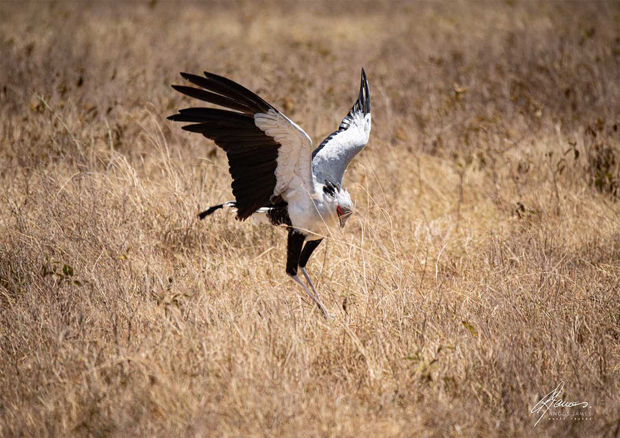 DT062 - Secretary Bird Catching Insects
