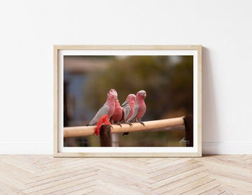 DT009 - Pink and Grey Galahs