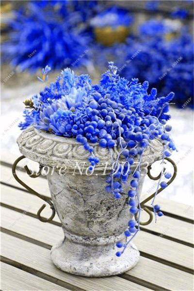 BLUE OCEAN PEARLS SUCCULENTS - 100 SEEDS