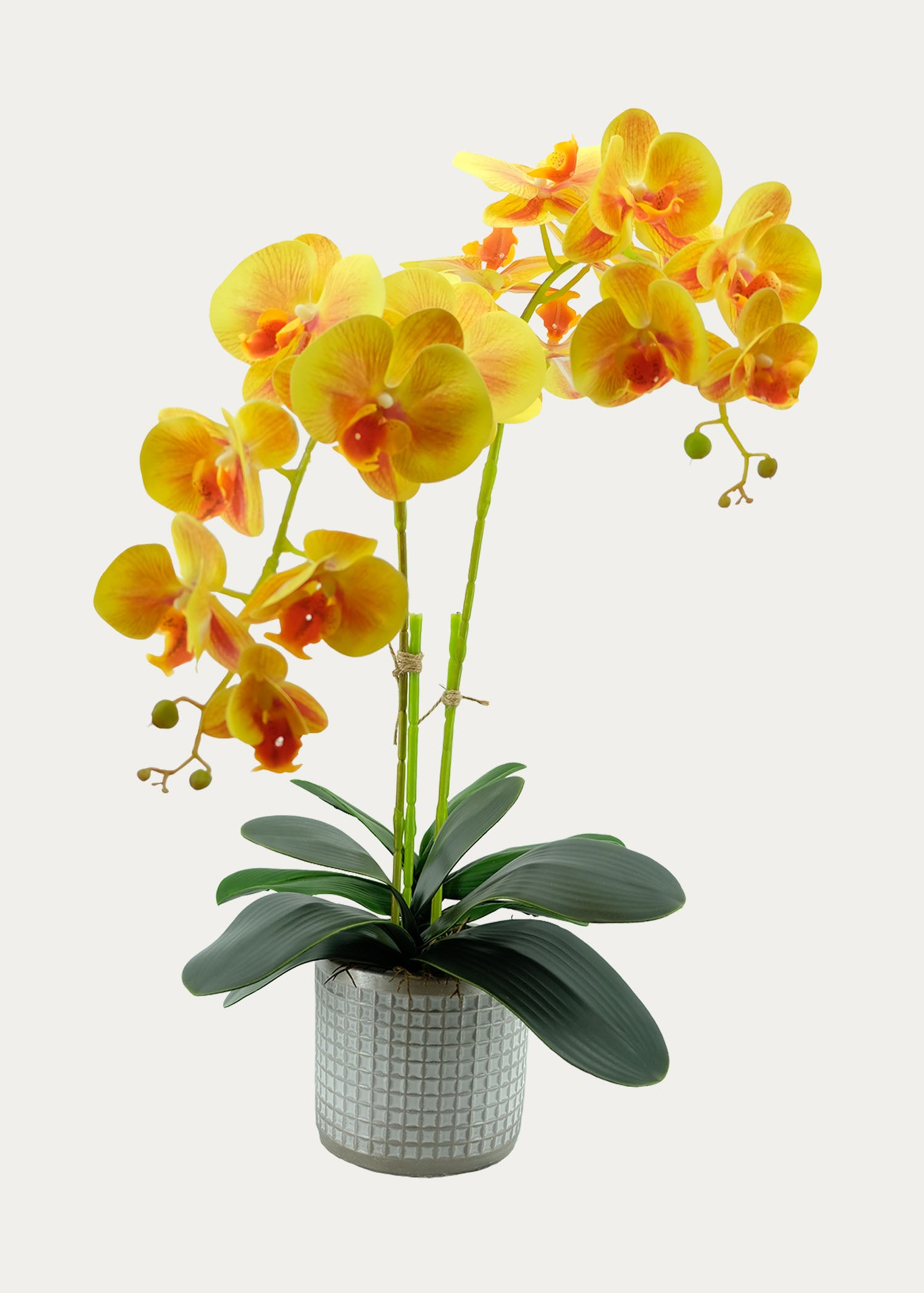 Double-Stalk Phalaenopsis Arrangement with Champagne-design Pot