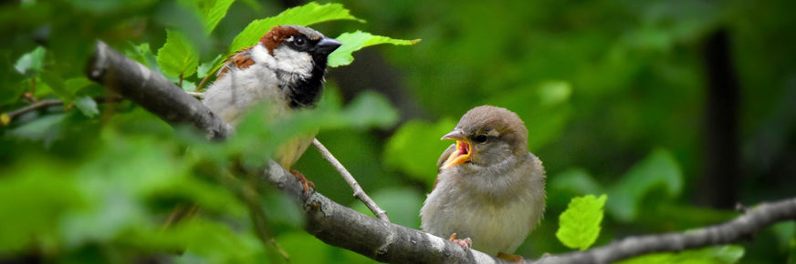 House Sparrows on branch