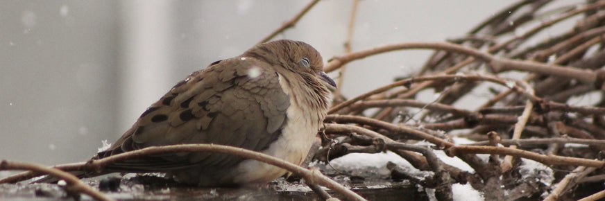 Brown Dove Roosting on Branches