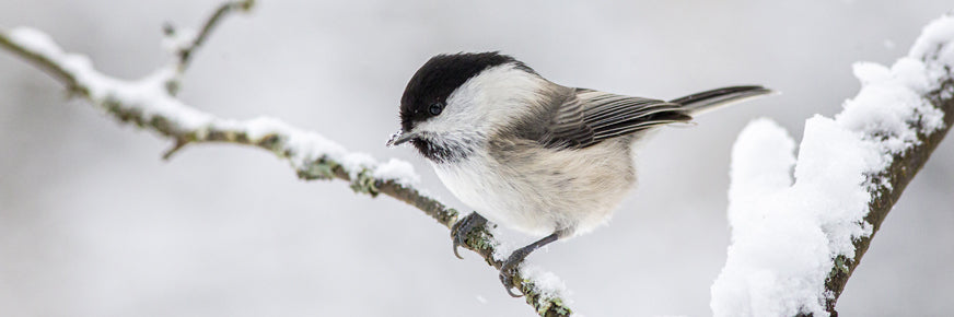 Willow Tit on Branch in Snow
