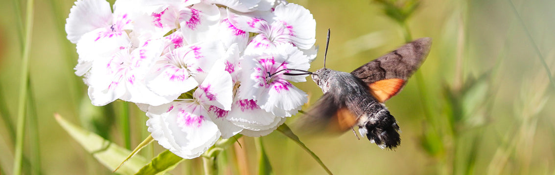 Hummingbird Moth UK