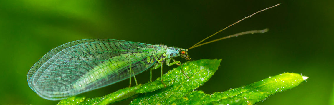 Lacewings