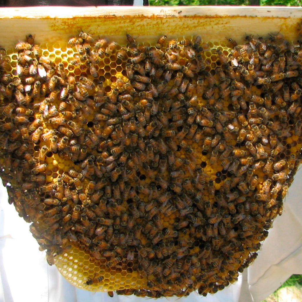 Bees on the Top Bar Brood Box