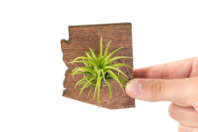 Arizona State Wood  Magnet  + Air Plant