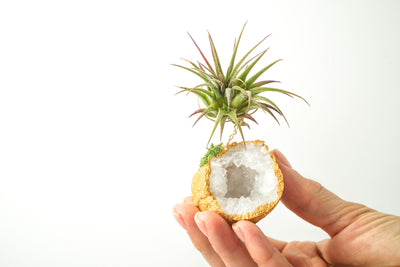Gold Dipped Moroccan Geode  + Air Plant
