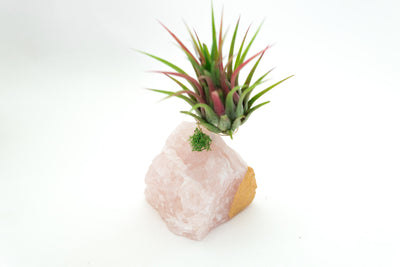 Gold Dipped Rose Quartz + Air Plant