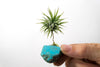 Turquoise + Air Plant