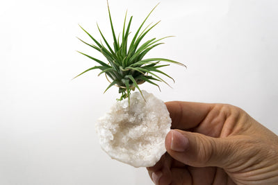 Moroccan Geode  + Air Plant