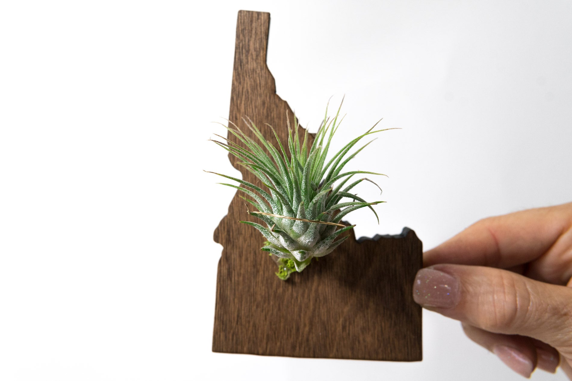 Idaho State Wooden Cut Out Magnet  + Air Plant