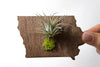 Iowa State Wooden Cut Out Magnet  + Air Plant