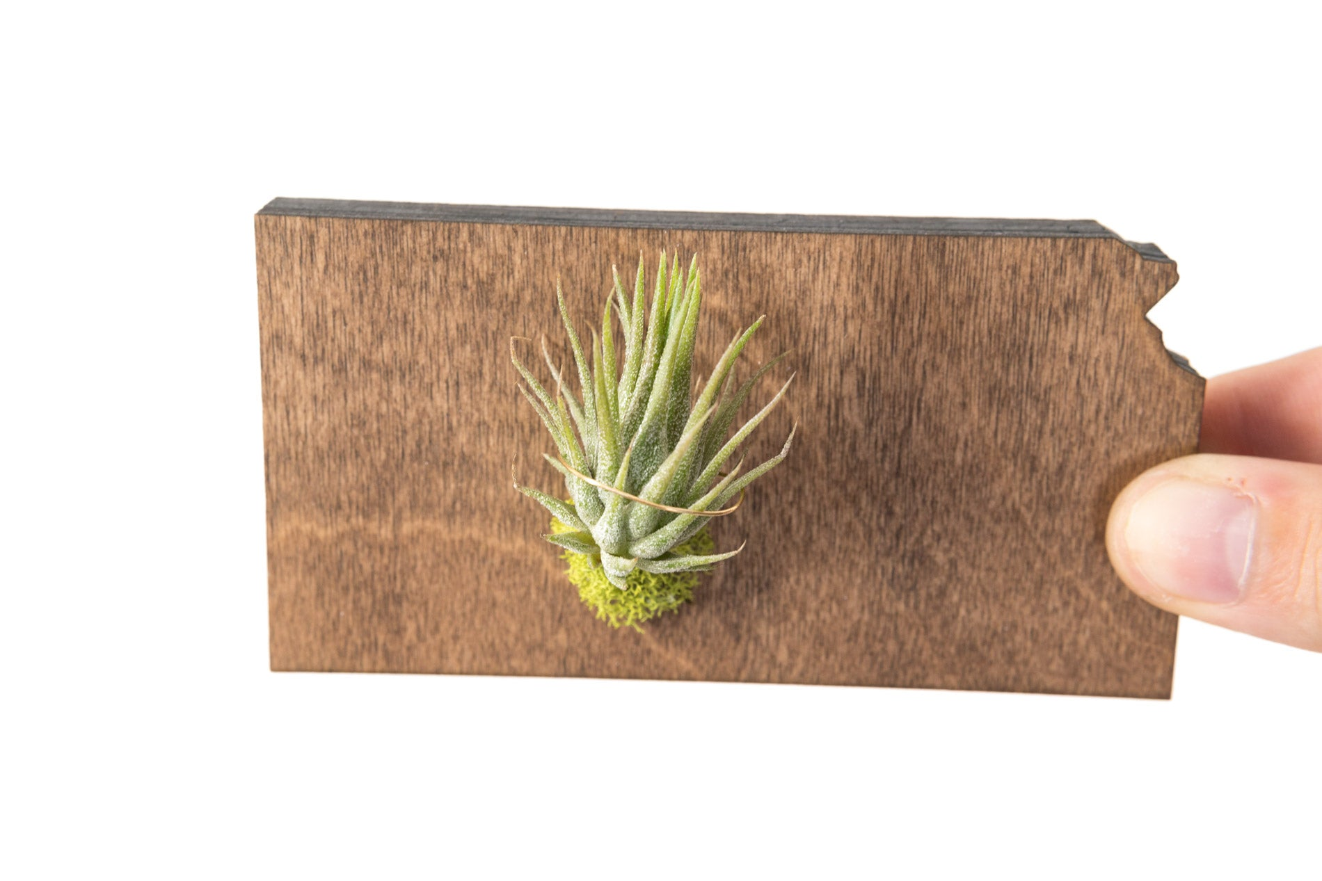 Kansas State Wooden Cut Out Magnet  + Air Plant