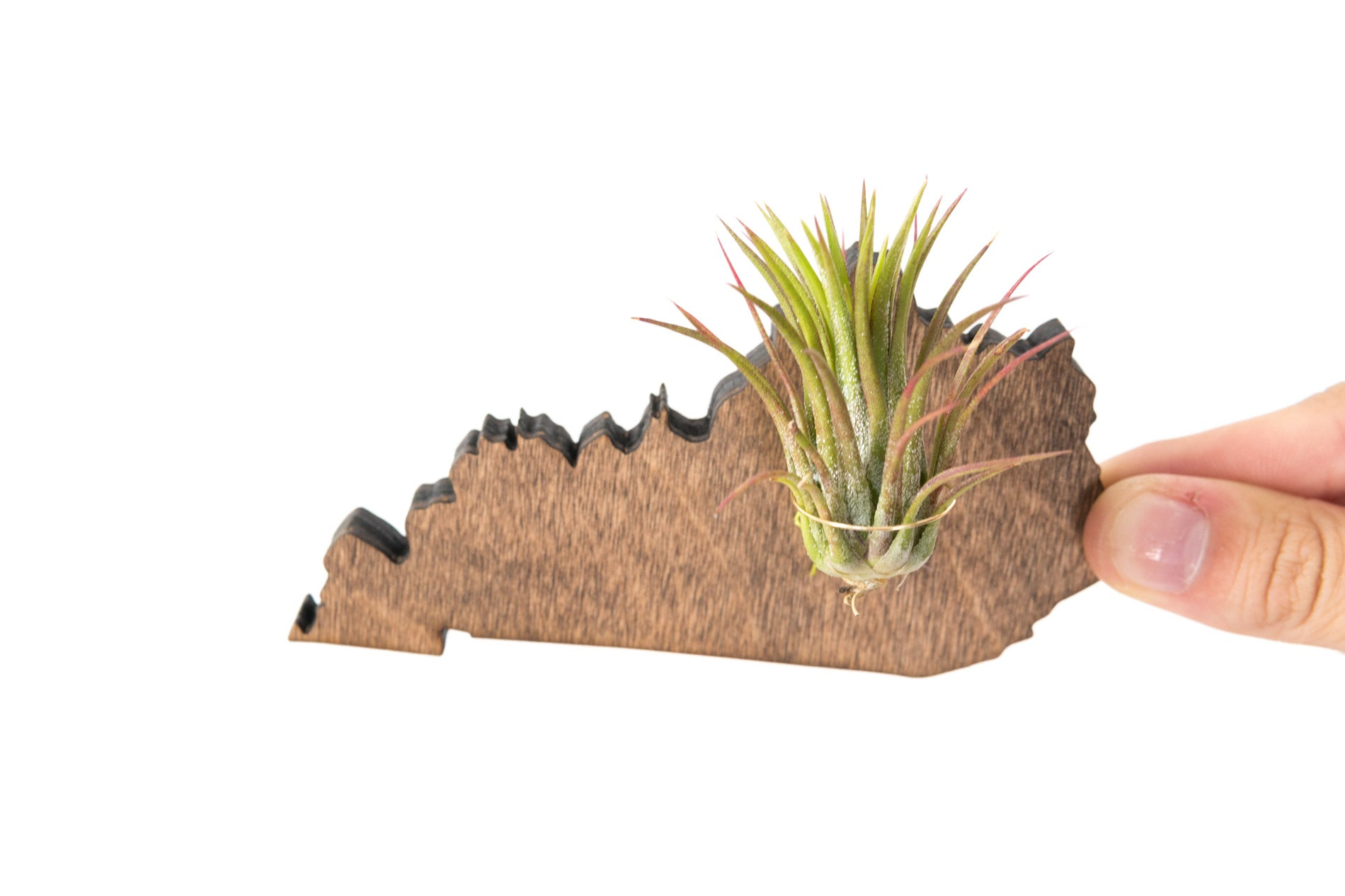 Kentucky State Wooden Cut Out Magnet  + Air Plant