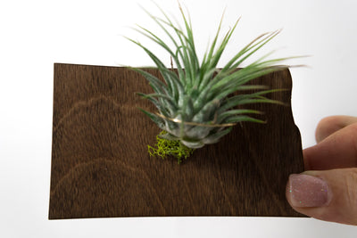North Dakota State Wooden Cut Out Magnet  + Air Plant
