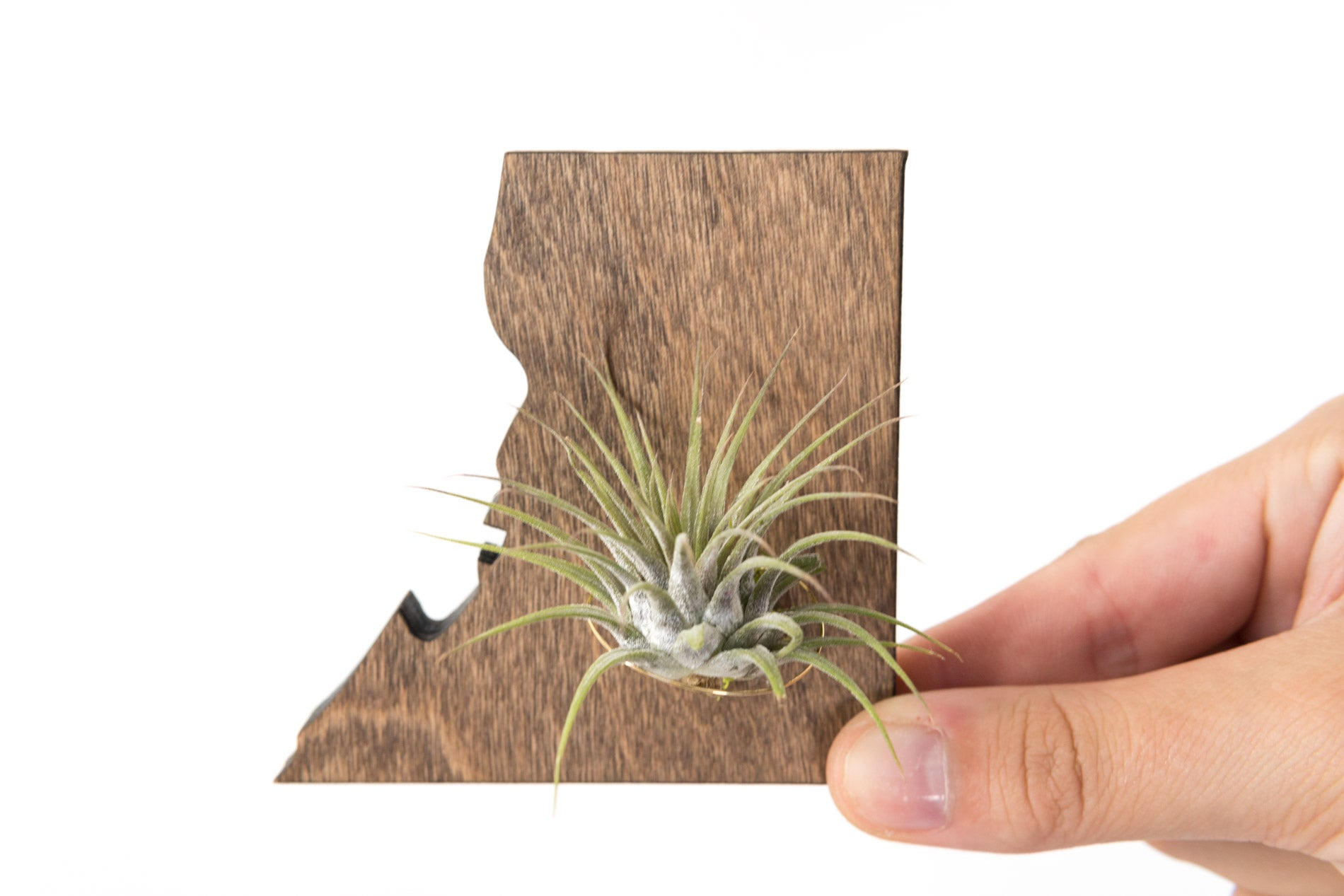 Washington,  DC Wooden Cut Out Magnet  + Air Plant