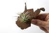 West Virginia Wooden Cut Out Magnet  + Air Plant