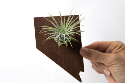 Nevada State Wooden Cut Out Magnet  + Air Plant