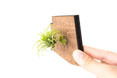 New York State Wooden Cut Out Magnet  + Air Plant