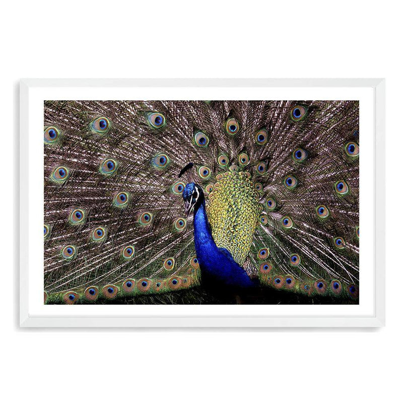Percy The Peacock Art Print No.1