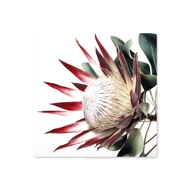 Red King Protea Square Canvas Art Print No.1