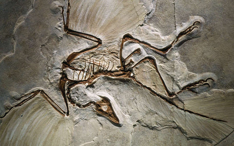 Fossile d'Archaeopteryx
