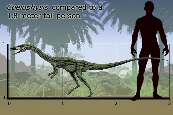 Taille Coelophysis