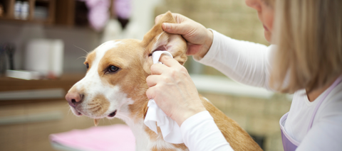 dog ear infection cure by aloe vera remedy
