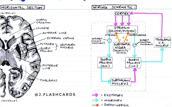 Neuroanatomy 2 Flashcards (PDF)