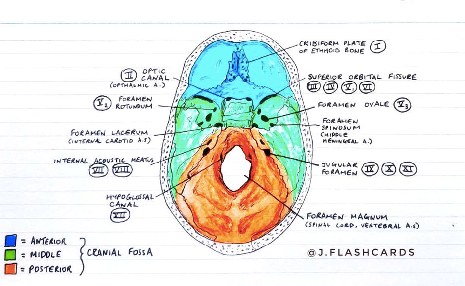 Neuroanatomy 1 Flashcards (PDF)